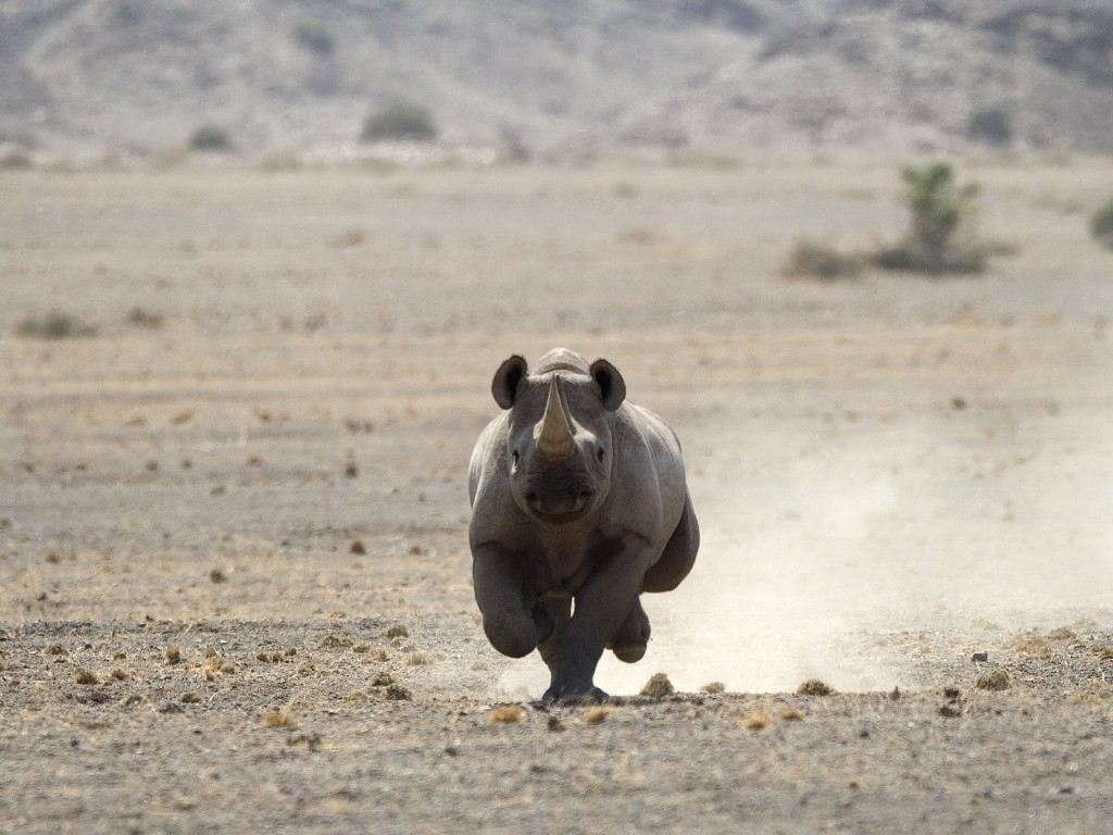 Black rhino running on Namibia self drive
