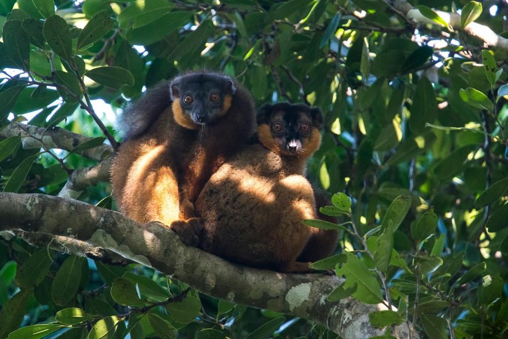 Lemurs aplenty, Manafiafy