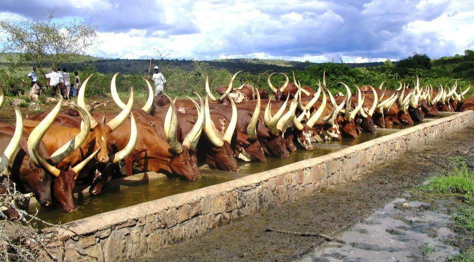 Ankole cows drinking in a trough in a line, Uganda safari