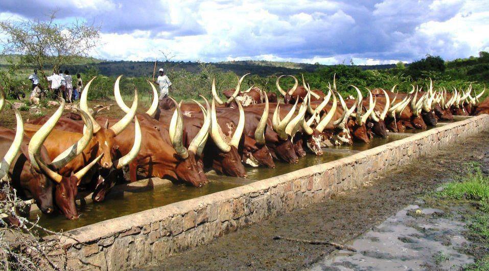 Ankole cows drinking in a trough in a line, Uganda safari