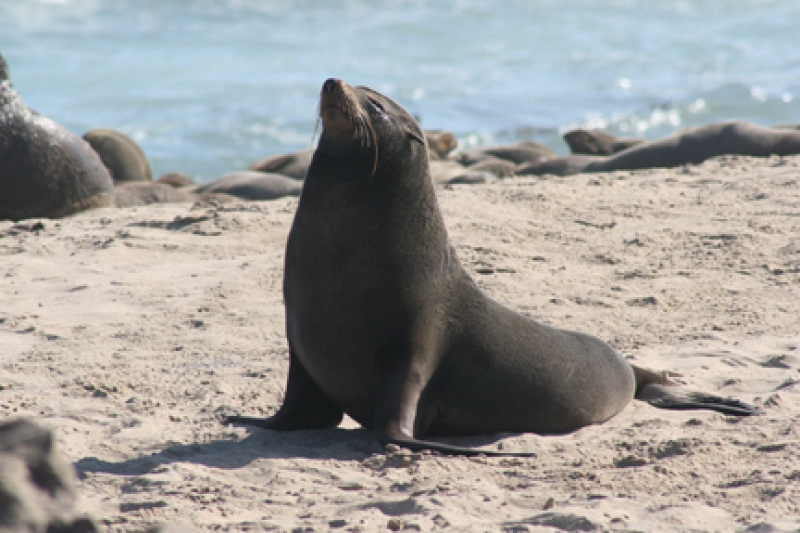 Cape fur seal on beach