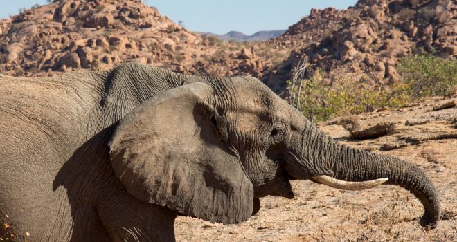 Desert adapted elephant. Image credit Camp Kipwe