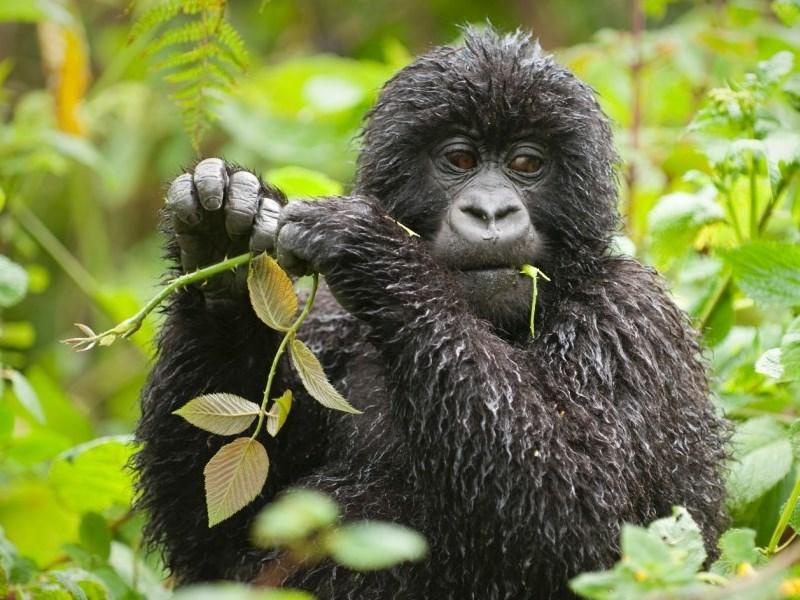Young gorilla in Uganda gorilla safari uganda