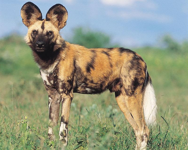 Wild Dog Jaci's Safari Lodge malaria free