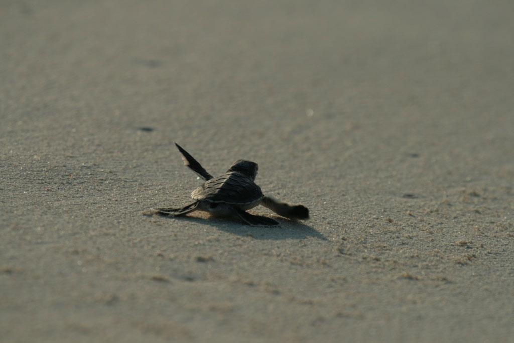 Phinda Reserve Hatching Turtles