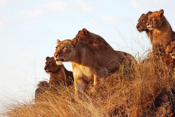 Chitwa Chitwa lions