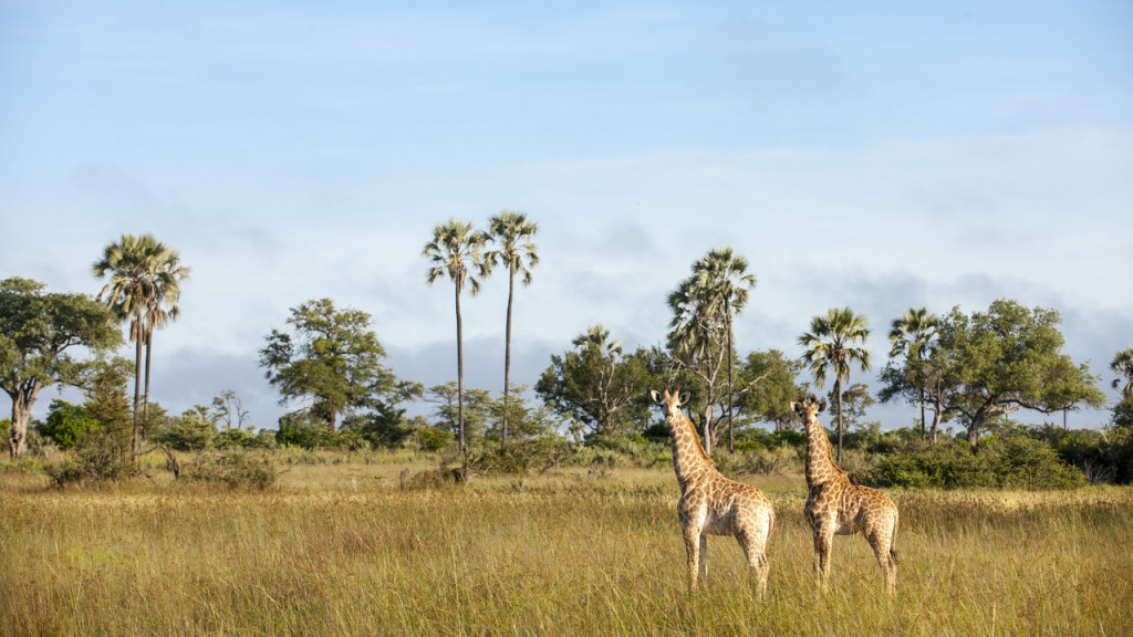 giraffes on plain