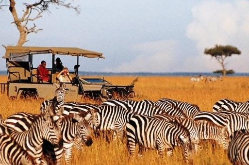 saruni zebra herd and game drive