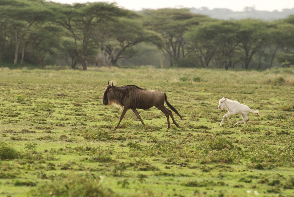 Rare all white albino calf, running behind mother wildebeest