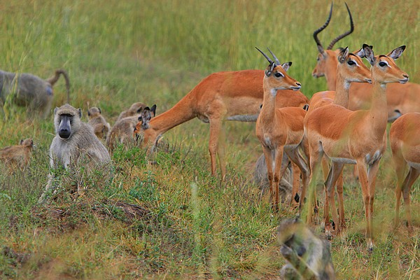 baboon troop and impala herd grazing