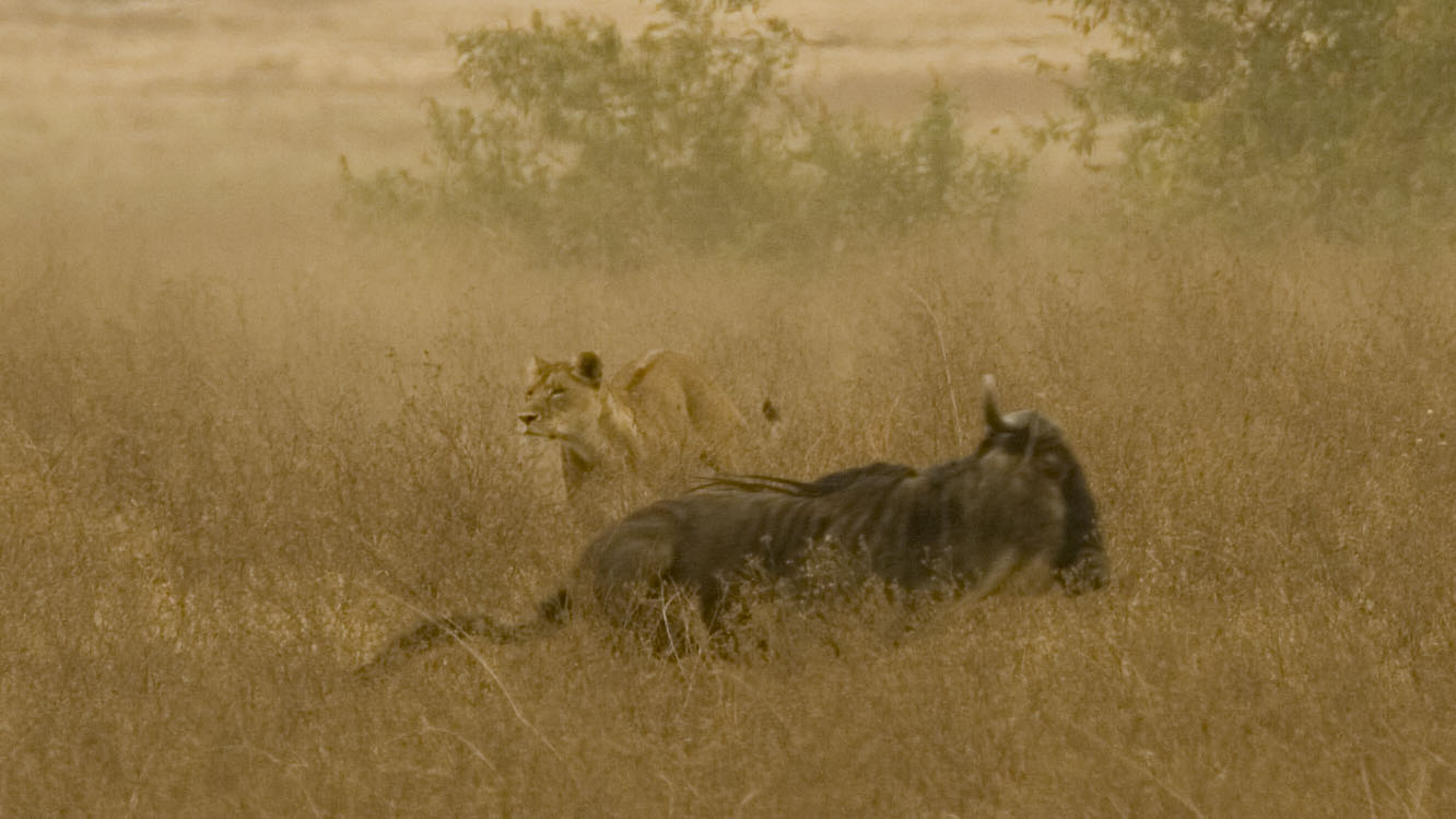 A lioness in full pursuit of the chase of young wildebeest