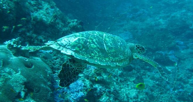 Turtle off Mafia island, Tanzania