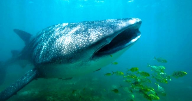 Whale Shark off Mozambique coastline