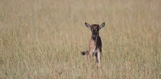 Young wildebeest calf staring alone