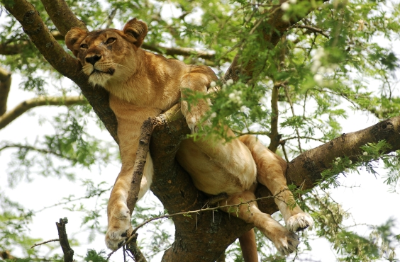 Tree climbing lion, Ishasha, QEII National Park,