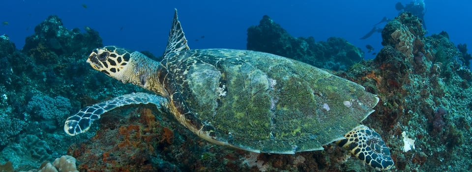 turtle on reef