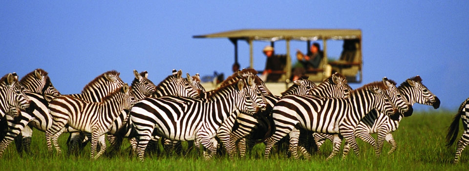 Zebras watched on a Serengeti game drive