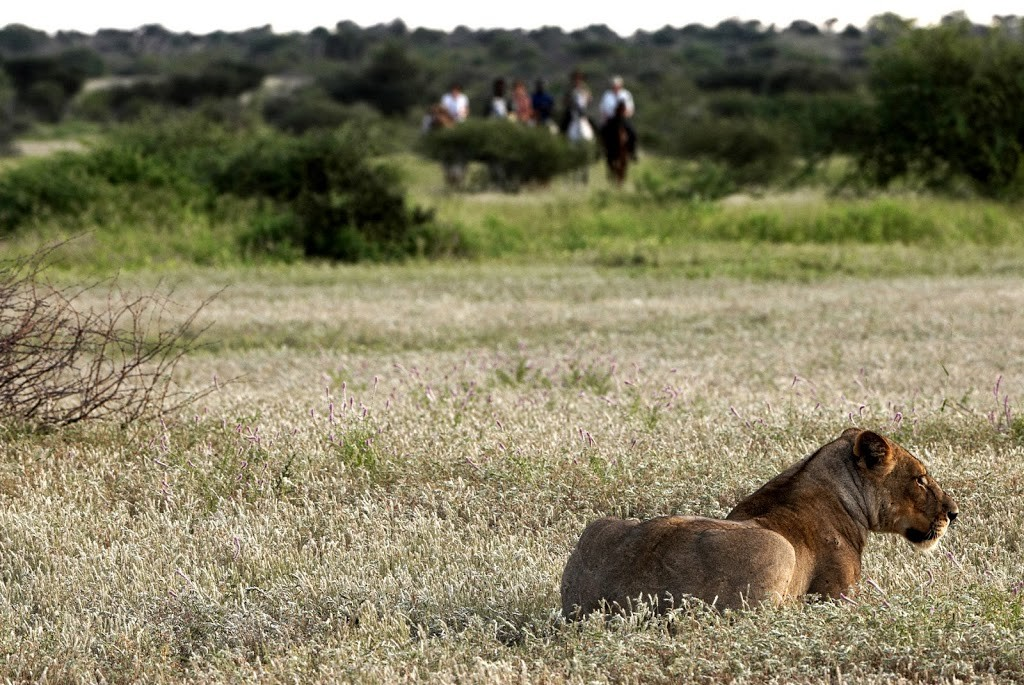 A lion in the grass foreground with riders in the background on a plain