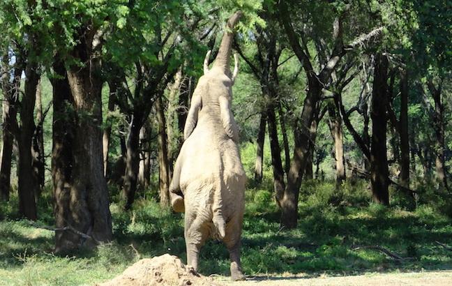 elephant hindlegs