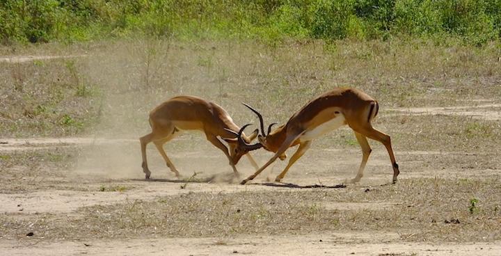 impala rutting
