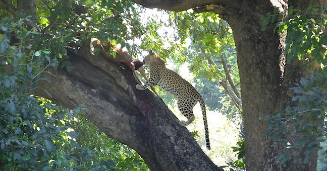 leopardess kill in tree