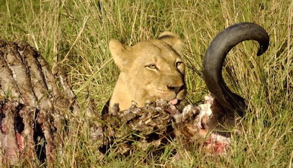 lionness kil