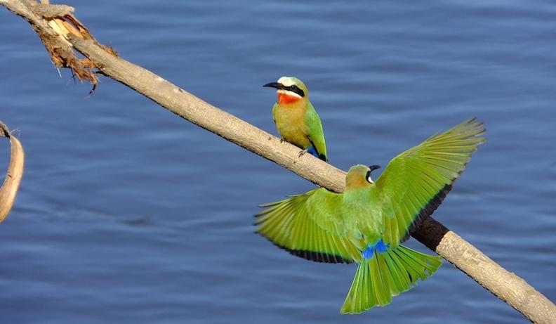 malachite kingfisher bird