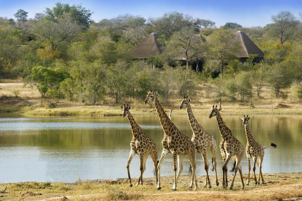 Giraffe in front of the lodge by river, Chitwa Chitwa, Kruger, South Africa