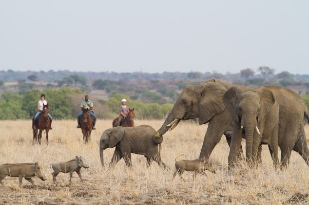 Limpopo Valley Horse Safaris (2) riders with warthogs and elephants 600 400