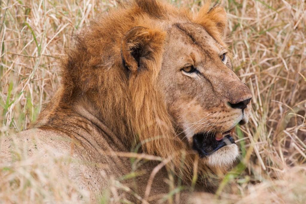 Magestic lion at Kuro Tarangire, Tanzania