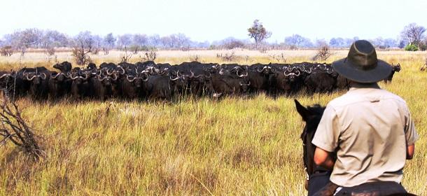 Mr Beam ridden by buffalo, Ride and Walk Botswana