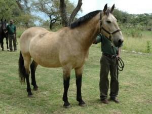 Mzuri a healthy safari horse at Singita Serengeti Tanzania