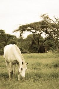 Zulu Great Plains Kenya Ol Donyo grazing by elephant