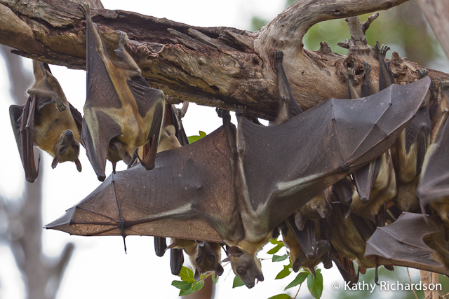 Fruit bats roosting upside down - Kasanka National Park, Zambia - image credit Kathy Richardson