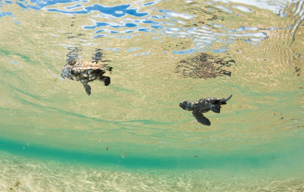 baby turtles swimming shot from underwater