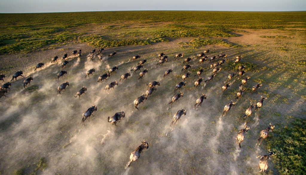 seen from a helicopter the wildebeest running