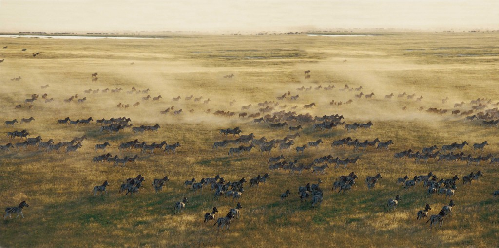 Zebra migration, Makagadikgadi Pans -
