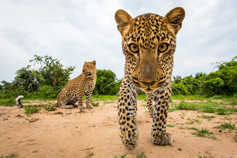 Leopard looking at camera Norman Carr Safaris