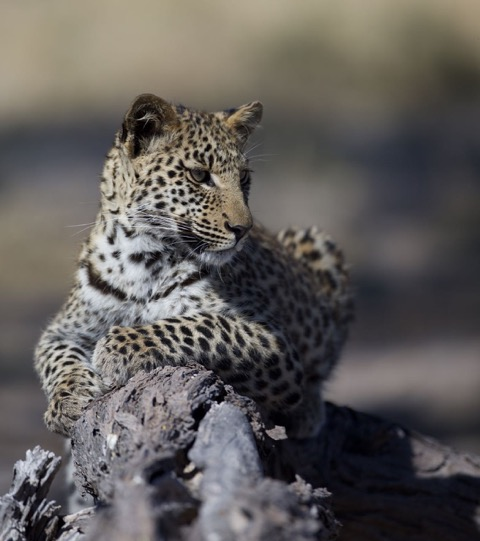 Leopard on a rock image credit David Murray
