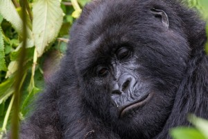Silverback gorilla close up of face, Image credit C.Culbert Wilderness Safaris