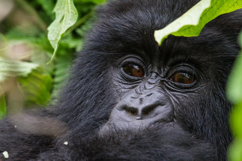 Juvenile gorilla Image credit C. Culbert Wilderness Safaris, Rwanda