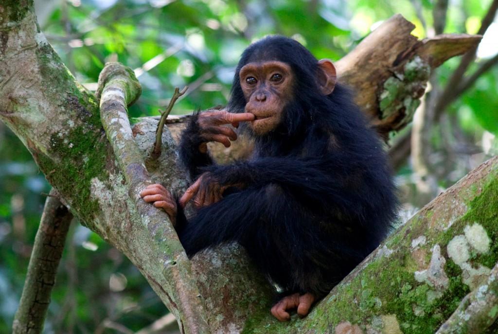 Young chimp, at Kybura Gorge, Rwanda. Image credit Volcanoes Safaris