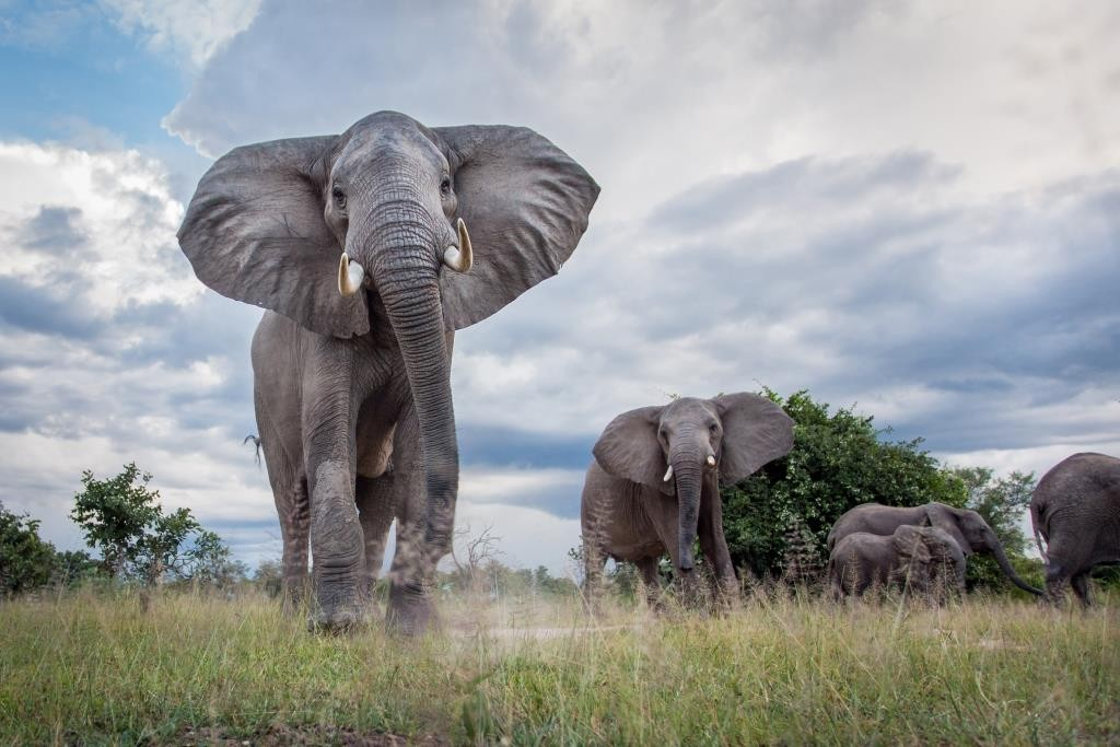 Group of elephants and clear skies with Norman Carr Safaris, South Luangwa National Park, Zambia. Image credit Will Burrard-Lucas