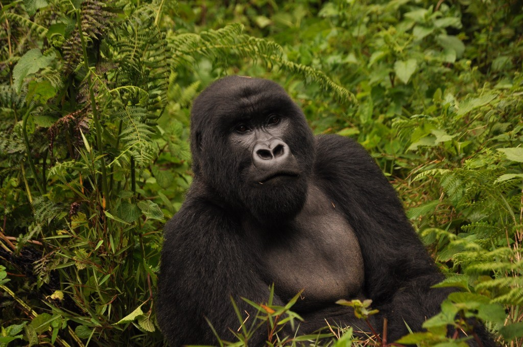 Male Silverback Gorilla in the undergrowth in the Volcans National Park. Image credit Virunga lodge african safari highlights