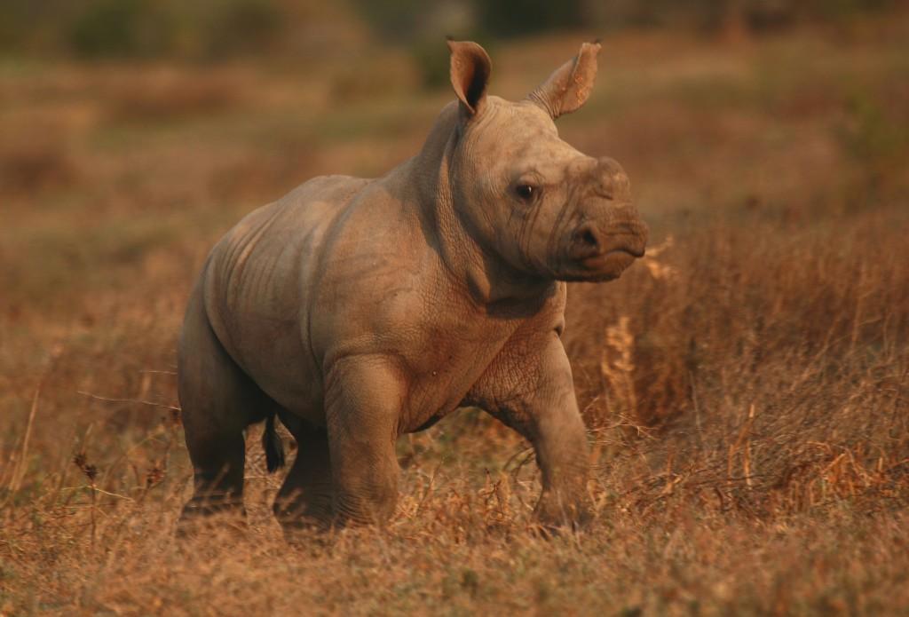 baby rhino image credit Kwandwe Reserve, South Africa endangered rhino