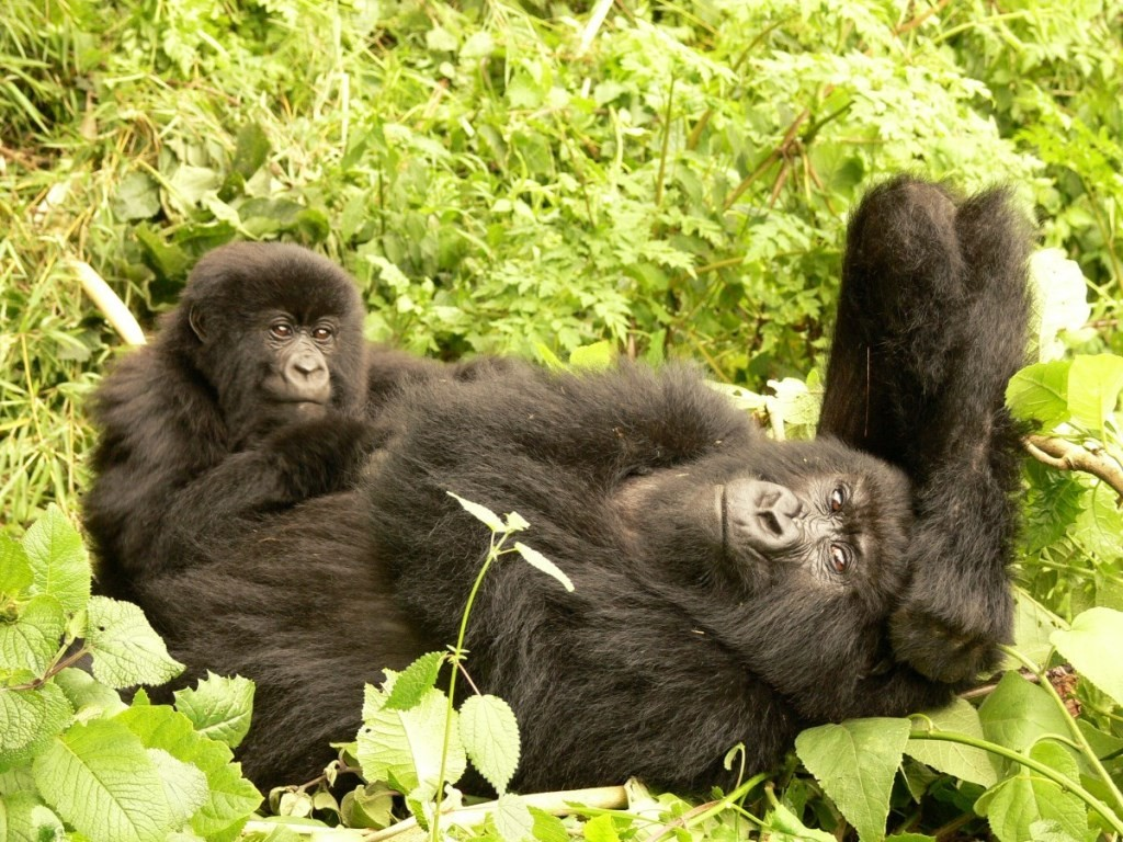 Relaxing mountain gorillas, mother and baby in undergrowth, gorilla tracking Rwanda