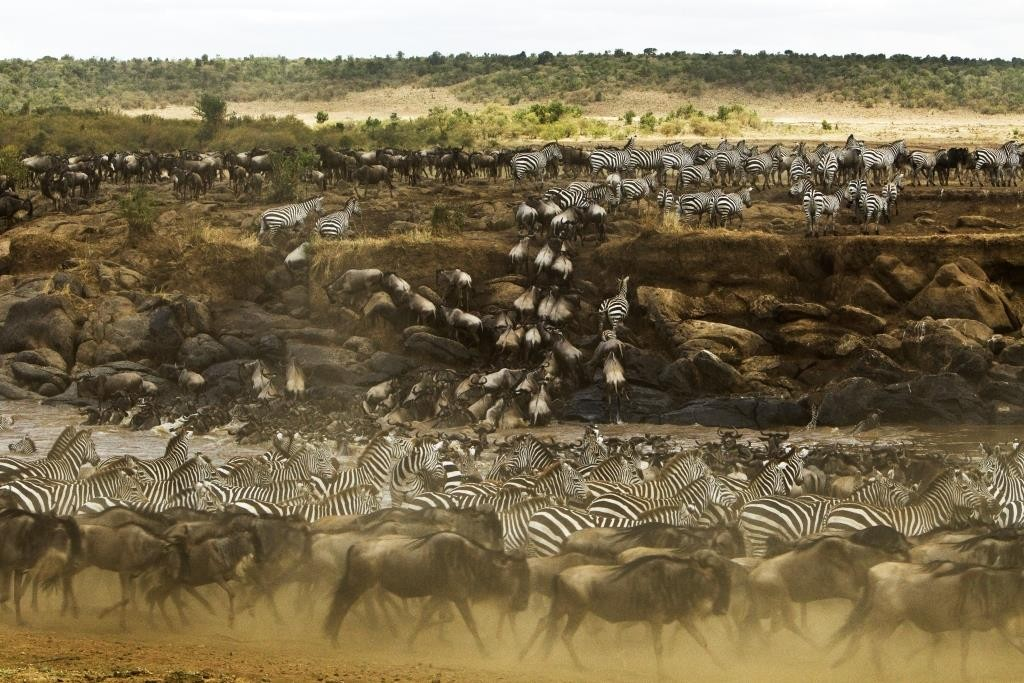 The wildebeest migration in full swing on a rive crossing, Masai Mara. Image Mara Toto, credit Beverly Joubert