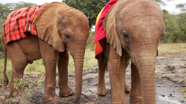 Two orphaned elephants wearing blankets looked after by the David Sheldrick Wildlife Trust, Nairobi Kenya
