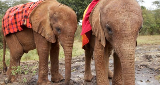 Two orphaned elephants looked after by the David Sheldrick Wildlife Trust, Nairobi, Kenya