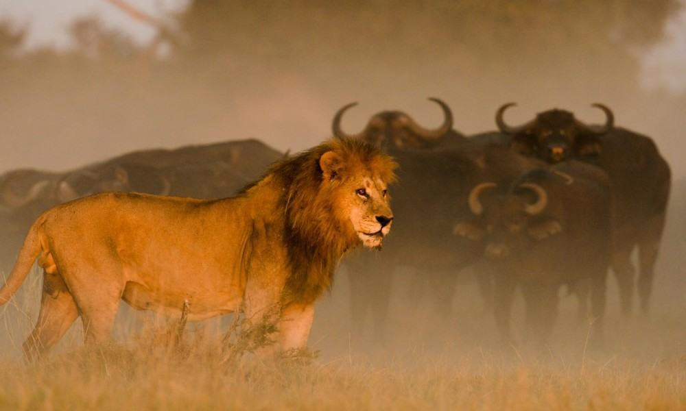 Fabulous wildlife viewing at Duba Plains, Okavango Delta, Botswana. Image credit: Great Plains Conservation